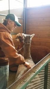 alpaca petting